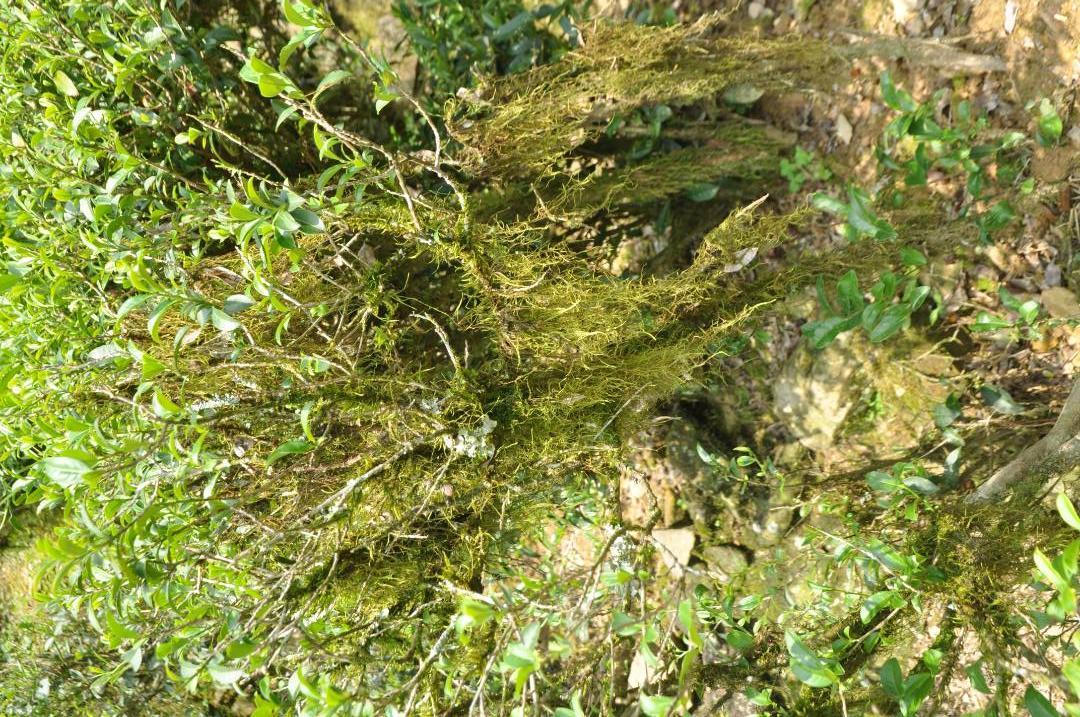 洋西坑的茶园古树