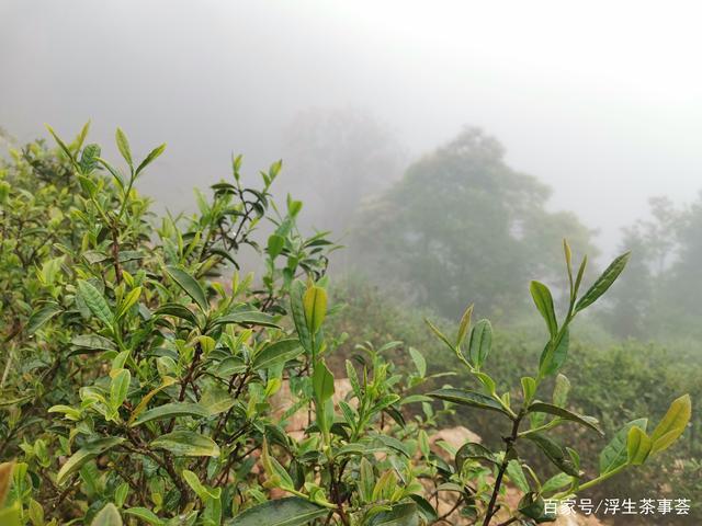 什么是客家绿茶?好的客家绿茶通常具有什么特点?(图5)