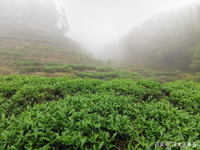 什么是客家绿茶?好的客家绿茶通常具有什么特点?(图3)