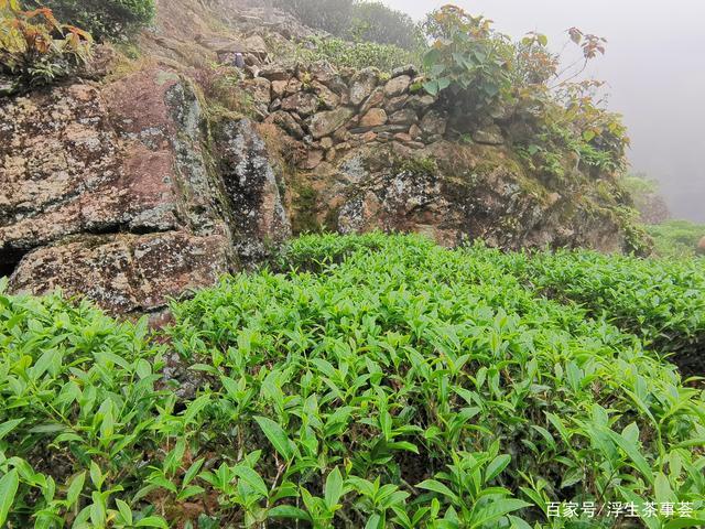 什么是客家绿茶?好的客家绿茶通常具有什么特点?(图1)