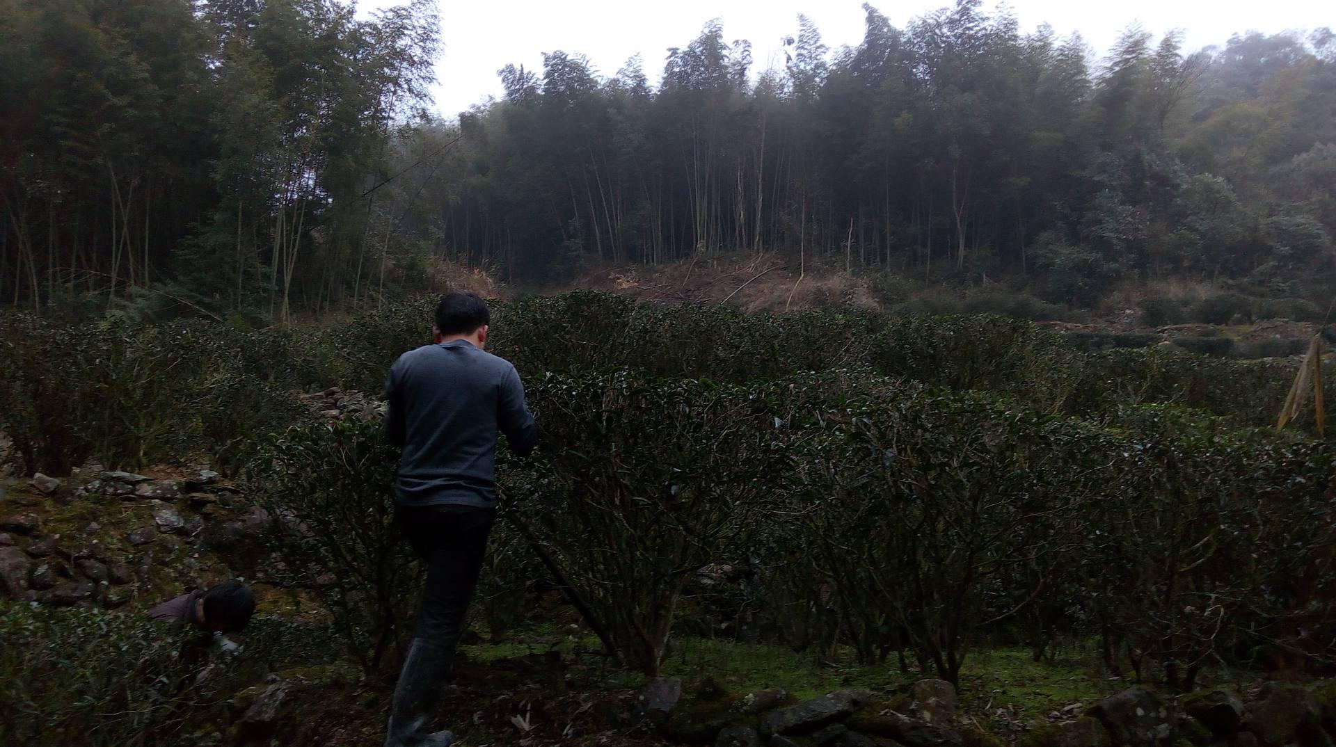 茶园秋冬锄草深耕:忙碌也是一道别致的风景线
