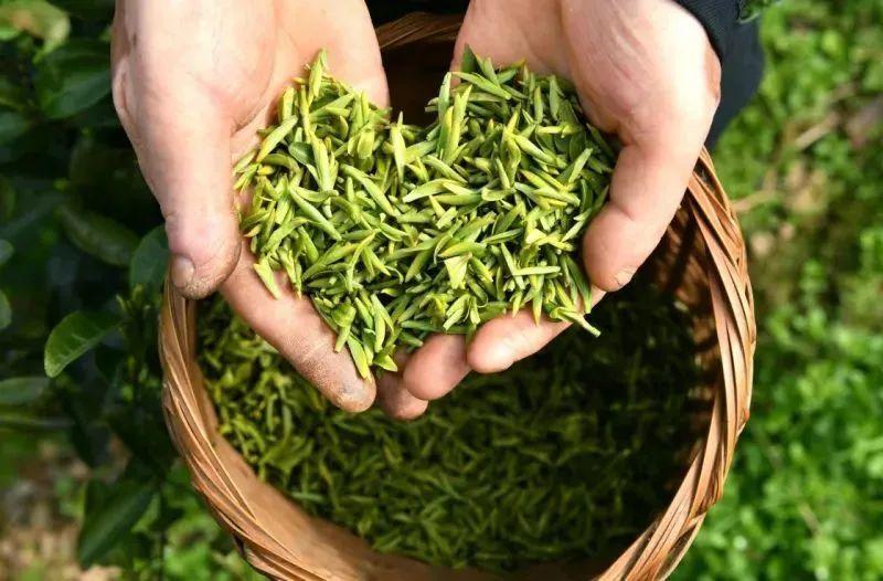 民间为什么会有春茶是宝,秋茶尚好,冬茶是草的说法?..