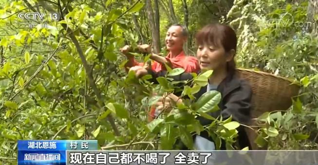 湖北恩施发展茶叶种植 助力百姓脱贫增收
