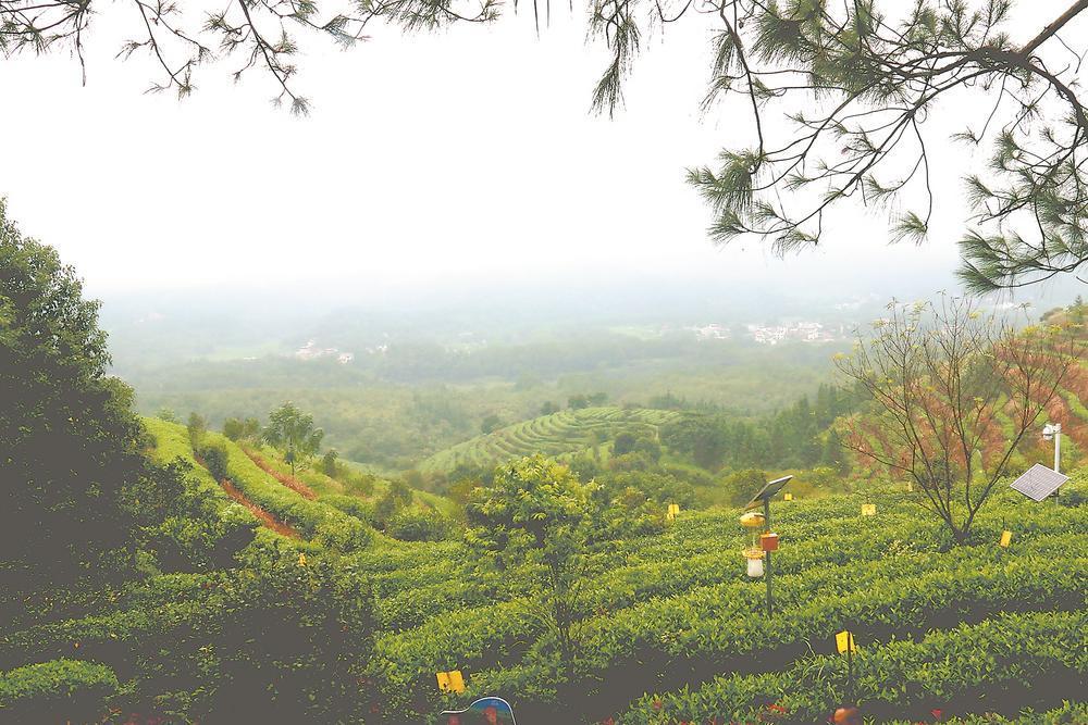 闽西:提升茶品质 构建新业态